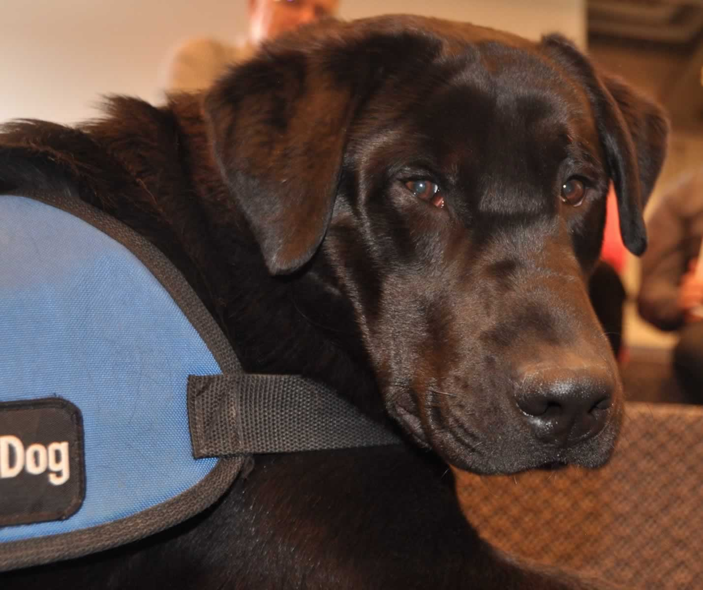 Dark brown service dog